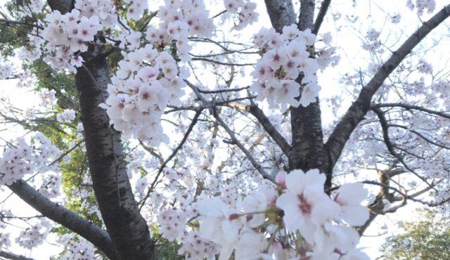 岡崎桜祭り太鼓フェスティバル
